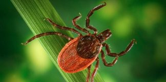 Ticks Carry More Than Simply Lyme Illness