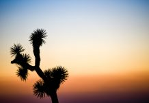 Joshua Trees Will Be All-But-Extinct by 2070 Without Environment Action, Research Study Warns