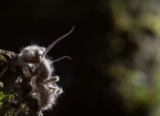 Zombifying fungi bypasses the brain to make ants its puppets, research study discovers