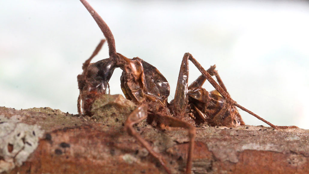 A fatal fungi offers 'zombie' ants a case of tetanus