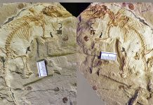 A versatile bone that assists mammals chew go back to the Jurassic Duration
