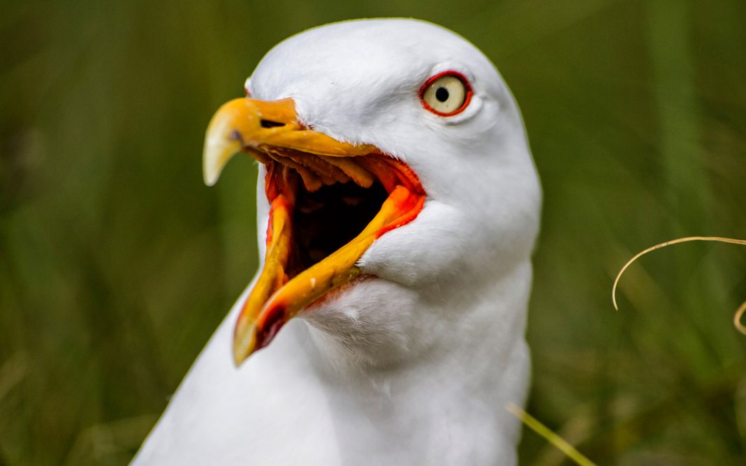 Chihuahua Was Kidnaped by a Seagull. It Might Occur, Professional States.