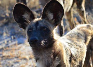 Safari traveler snaps might produce helpful preservation information