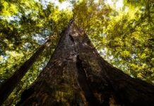 For California's redwoods, local weather change is not all unhealthy
