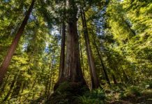 Redwoods, birds and microphones: The mission to conserve a threatened types