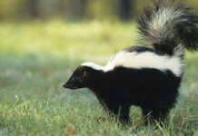 A fungi makes a chemical that reduces the effects of the smell of skunk spray