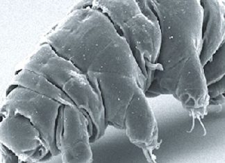 Tiny tardigrades crash-landed on the Moon and most likely made it through