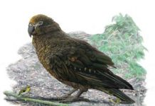 Giant, dog-sized parrot was more cannibal than copycat