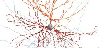 How pieces of live human brain are assisting researchers map afferent neuron