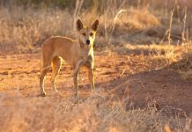 An Id for the Australian Dingo