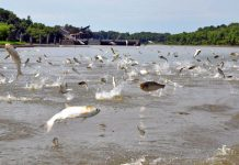 A mussel poop diet plan might sustain intrusive carp's spread throughout Lake Michigan