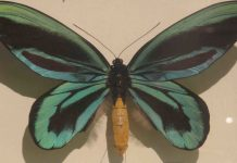 The Mystical Fate of the World's Largest Butterfly
