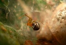 Spiders end up being more aggressive after severe weather condition, research study states