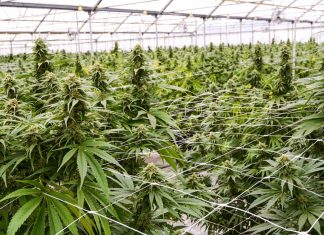 Researching Medical Cannabis May Quickly Get Simpler
