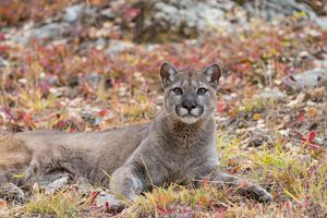 Ancient puma poop exposes huge felines had a modern-day parasite issue