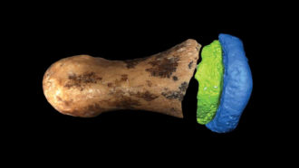 This ancient Denisovan finger bone is remarkably humanlike