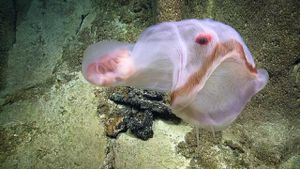 View a Deepstaria jellyfish shape-shift like an undersea Pac-Man ghost