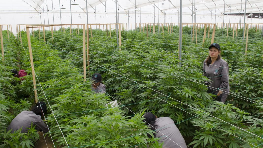 Colombia Is Developing Into A Major Medical Cannabis Manufacturer