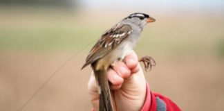Birds fed a typical pesticide dropped weight quickly and had migration hold-ups