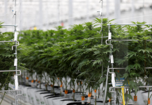 Here are the 3 leading pot stocks to bank on in the United States and one to prevent, according to Wall Street's leading marijuana expert