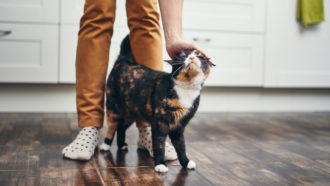 Felines might have 'accessory designs' that mirror individuals's