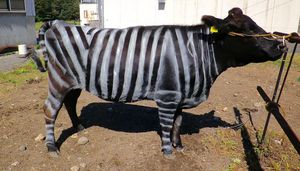 Painting zebra stripes on livestock prevents biting flies, brand-new research study states