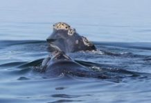 Right whale mamas 'whisper' to their children so sharks will not hear