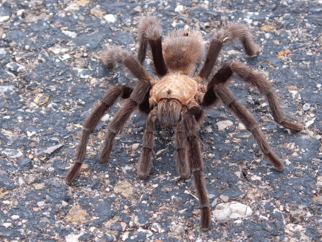Countless tarantulas are emerging from the ground in the San Francisco Bay Location, trying to find mates