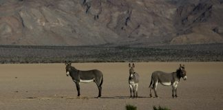 Death Valley's Park Service Desires Them Gone. However Are Wild Donkeys Truly the Opponent?