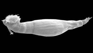 These small marine animals produce a substance that might assist battle snail fever