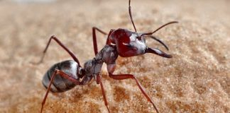 The world's fastest ant clocks record speed of 108 times its own body length