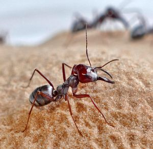 Witness the world's fastest ant, star of a future sci-fi scary flick