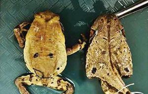 These creative toads pretend to be lethal snakes to prevent being assaulted