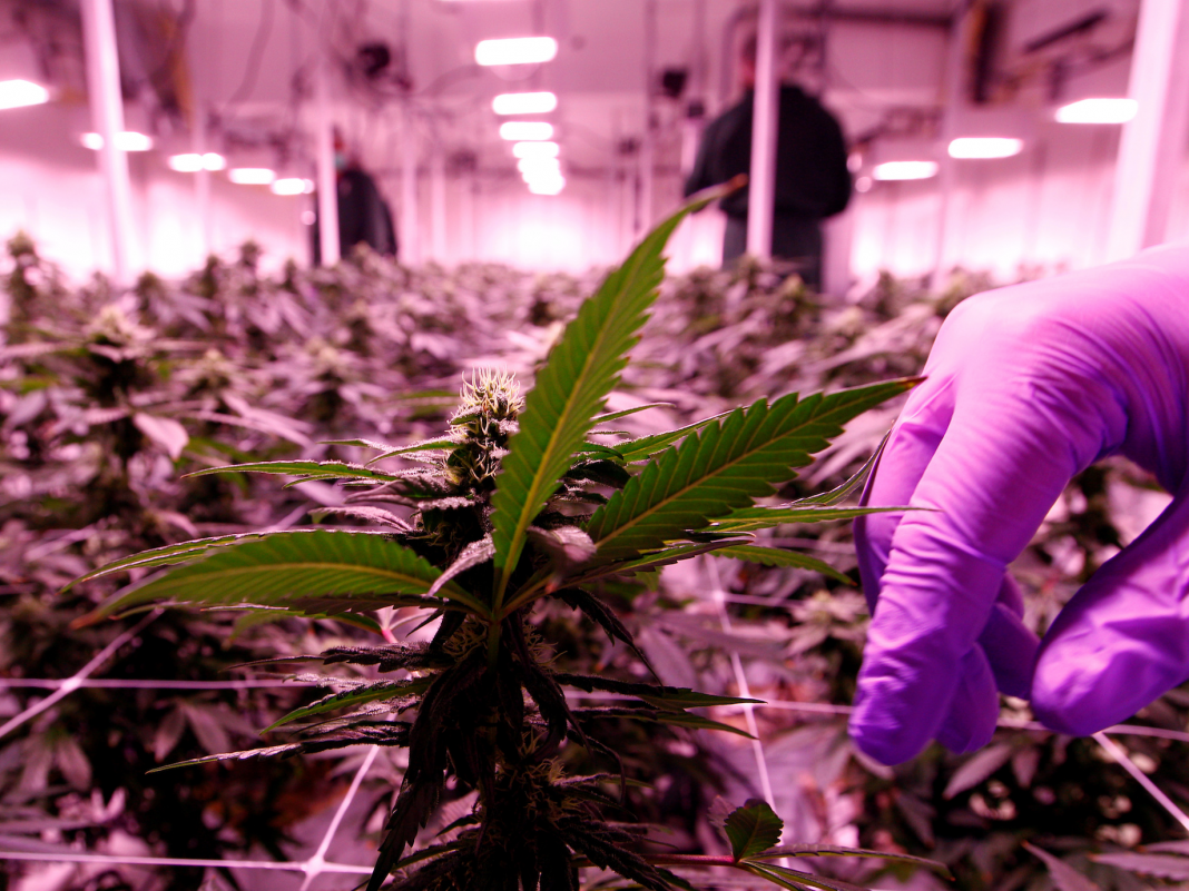 Marijuana companies simply cut numerous tasks as the when hot market competes with a 'harmful' landscape