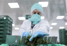CULTIVATED: A wave of marijuana layoffs, and equity capital gets cautious as headwinds install
