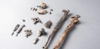 Fossils recommend tree-dwelling apes strolled upright long prior to hominids did