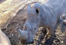 Researchers produce phony rhino horn out of horse hair