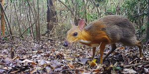'Lost' types of mouse-deer found in the wild after 30 years