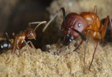 Turning a molecular switch can turn warrior ants into foragers