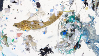 Plastics surpass infant fish 7-to-1 in some seaside nurseries