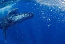 Humpback whales in the South Atlantic have actually recuperated from near-extinction