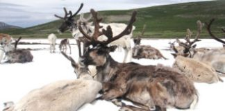 The loss of 'everlasting ice' threatens Mongolian reindeer herders' way of living
