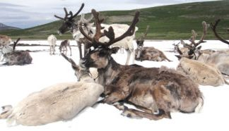The loss of 'everlasting ice' threatens Mongolian reindeer herders' way of living