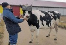 Russian dairy cows wear VR glasses for better milk production