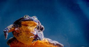 Scientists create special phone to dial up chatty frogs in the wild