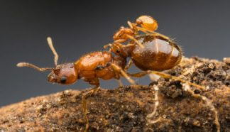 Texas has its own rodeo ant queens