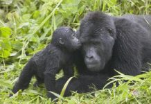 Gorilla population making a comeback, say conservationists