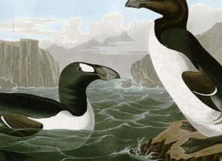 DNA points to humans as killers of the northern version of the penguin
