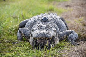 Alligators in little 'top hats' could give scientists a better look at reptile life