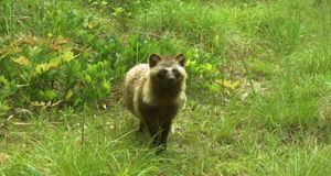Fukushima nuclear disaster evacuation zone now teems with wildlife